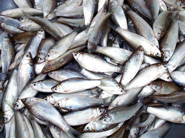 Nằm mơ thấy cá trắng có ý nghĩa gì nên chơi xổ số con gì