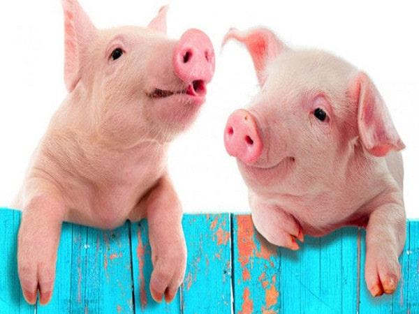 Mơ thấy lợn là điềm dữ hay lành - Đánh con số nào?