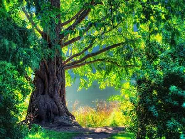 Mơ thấy cây cổ thụ - Nằm mơ thấy cây cổ thụ đánh con gì chuẩn xác
