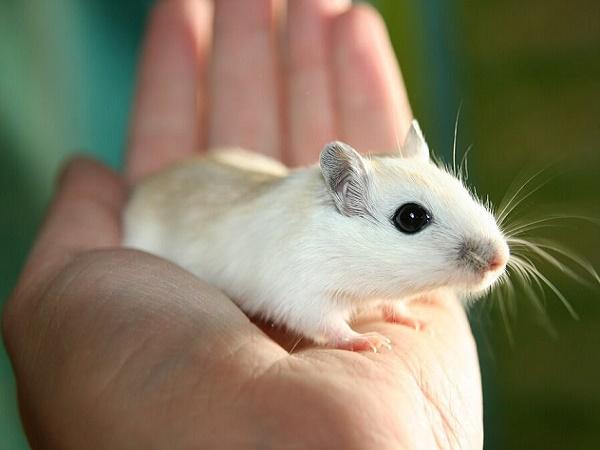 Nằm mơ thấy chuột là điềm gì? Đánh lô đề con nào?