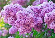 Tử Đinh Hương - Mùi hương nước hoa hợp cung hoàng đạo nguyên tố nước