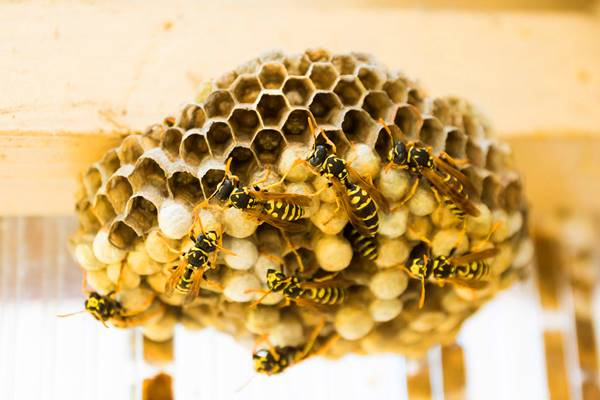 Giải mã giấc mơ thấy tổ ong là điềm báo gì