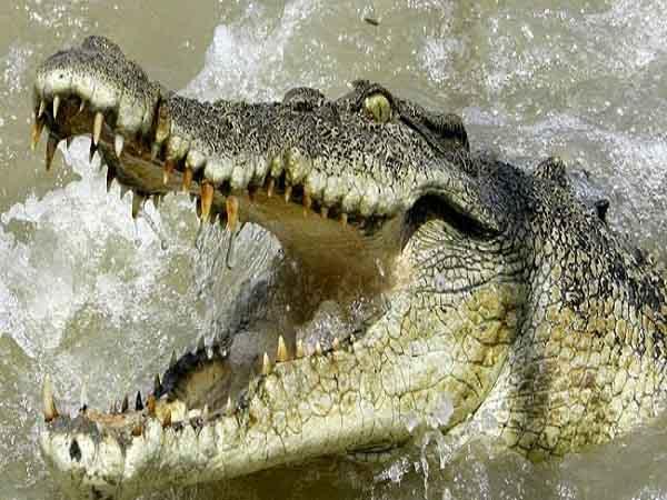 Nằm mơ thấy cá sấu - Chiêm bao thấy cá sấu đánh con gì ăn chắc