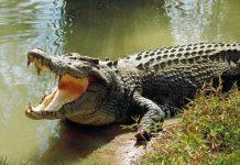 Mơ thấy cá sấu là điềm báo lành hay dữ?