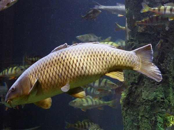 Nằm mơ thấy cá chép đánh con gì ăn chắc, có ý nghĩa gì