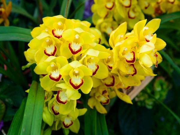 Mơ thấy hoa phong lanđánh con gì?