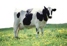 Mơ thấy con bò đánh con gì?