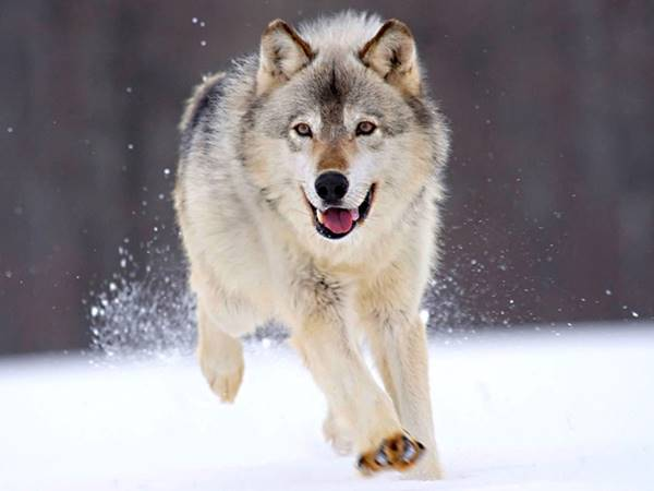 Mơ thấy sói là điềm gì? Đánh con nào khả năng trúng cao?