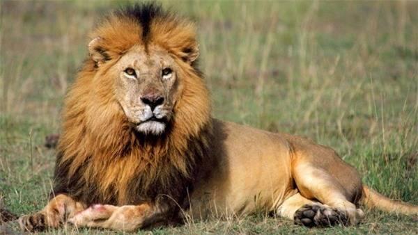 Giải mã nằm mơ thấy sư tử là điềm báo gì nên đánh lô đề số mấy