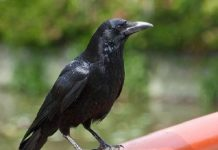 Nằm mơ thấy con quạ đánh con gì ăn chắc, có điềm báo gì
