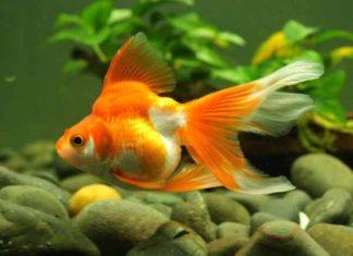Nằm mơ thấy cá vàng có điềm báo gì, đánh con gì ăn chắc